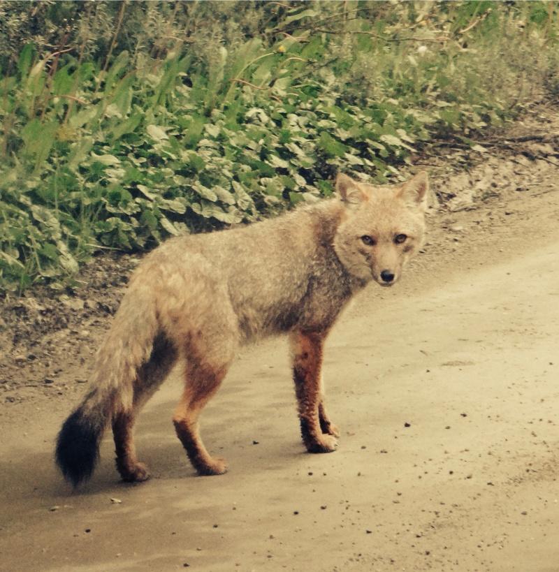 Crack Fox